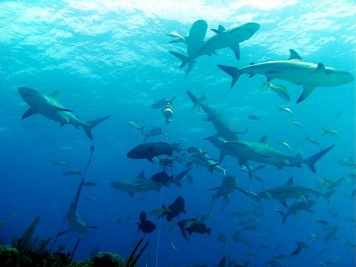 Carcharhinus perezi bahamas feeding