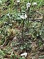 Cardamine hirsuta (Habitus) 2.jpg