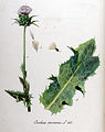 Carduus marianus — Flora Batava — Volume v11.jpg