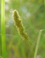 Carex-stipata-var-stipata 9175299655 o (2).png