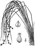 Carex atlantica ssp capillacea drawing 1.png