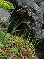 Carex atrata 001.JPG