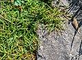 Carex firma in La Jaysinia (2).jpg