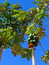 Carica papaya 001