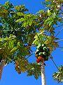 Carica papaya 001.JPG