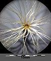 Carlina acaulis subsp. acaulis sl5.jpg