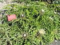 Carlina acaulis subsp. caulescens - Botanischer Garten, Frankfurt am Main - DSC03222.JPG