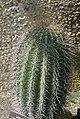 Carnegiea gigantea 7zz.jpg