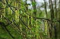 Carpinus betulus - flowers.jpg