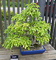 Carpinus tschonoskii bonsai - Dawes Arboretum - DSC03003.JPG
