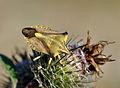 Carpocoris fuscispinus qtl3.jpg