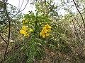Cassia auriculata-1-mundanthurai-tirunelveli-India.jpg