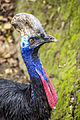 Cassowary at the Budapest zoo (11623823905).jpg