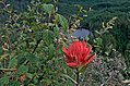 Castilleja with Summit lake in the background, Clearwater Wilderness, WA (DSC 0577).jpg