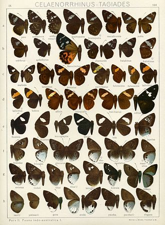 Celaenorrhinus - Plate from Adalbert Seitz's Macrolepidoptera of the World IX