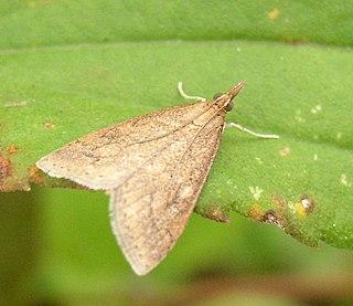 <i>Udea</i> genus of insects