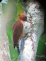 Celeus loricatus Carpintero canelo Cinnamon Woodpecker (male) (12180117183).jpg