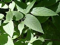 Celtis occidentalis 08837.jpg