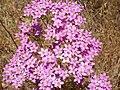 Centaurium erythraea enfoque 2010-6-06 SierraMadrona.jpg