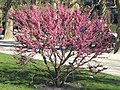 Cercis yunnanensis (Jardin des Plantes de Paris) 1.jpg