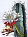 Cereus repandus BlKakteenT131.jpg