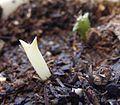 Cereus repandus albino seedling.jpg