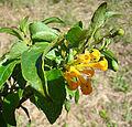 Cestrum aurantiacum, the Orange Jessamine (11425602614).jpg