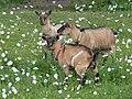 Chèvres naines du moulin de Carmenais 03.jpg