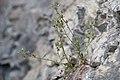 Chaenorrhinum origanifolium - Kyndelsporre-1490 - Flickr - Ragnhild & Neil Crawford.jpg
