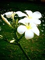 Champa Flower.jpg