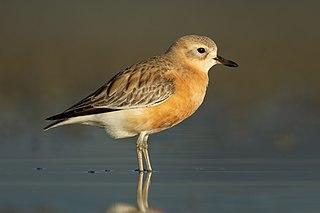 New Zealand dotterel Species of bird