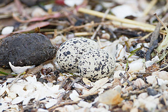 "Red-capped plover - ""Nest"" with eggs"