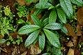 Chassalia curviflora 4220.jpg