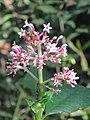 Chassalia curviflora flowers at Peravoor (2).jpg
