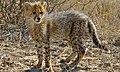 Cheetah Cub (Acinonyx jubatus) (6491718853).jpg