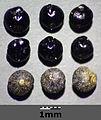 Chenopodium album subsp. album sl8.jpg