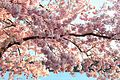 Cherry Branch with Blossoms.jpg