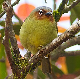 Chestnut-faced babbler (cropped).jpg