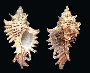 Types Of Murex Shells Seashells By Millhill