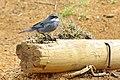 Chile-03111 - Diuca Finch (49072905266).jpg