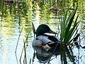 Chilling Duck.jpg