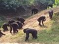 Chimpanzee meeting - Uganda Wildlife Conservation Centre Entebbe.jpg
