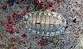 Chiton tuberculatus (West Indian green chiton) (San Salvador Island, Bahamas) 1 (15947947127).jpg