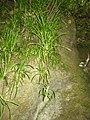 Chlorophytum comosum (Thunb.) Jacques (AM AK329756-1).jpg
