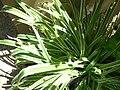 Chlorophytum comosum cv variegatum 1.jpg