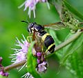 Chocolate wings on Chrysotoxum bicinctum - Flickr - gailhampshire.jpg