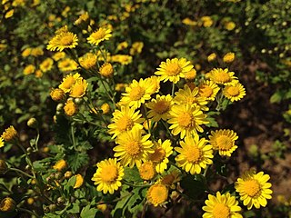 <i>Chrysanthemum lavandulifolium</i> Species of flowering plant