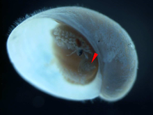 A tranlucent rounded operculum inside the aperture of the snail.