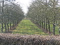 Cider Apple Orchard in winter, Little Tarrington - geograph.org.uk - 120590.jpg
