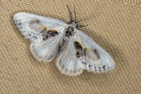 Cilix glaucata, Lodz(Poland)03(js).jpg